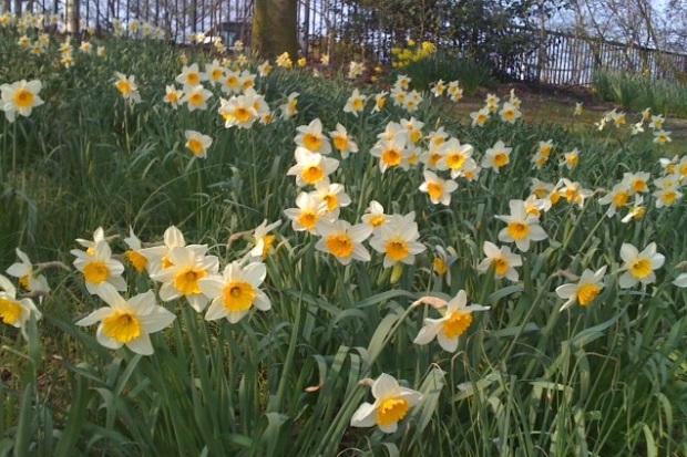 bristol daffodils